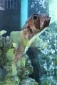 """""""FUGO FUGO"""" ... zdejší specialitka ... jedovatá rybka, když ji připraví špatně, byla to Vaše poslední večeře !"""