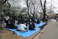 """Pod kvetoucími sakurami se pořádají velké """"pikniky""""..."""