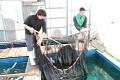 Po obědě se pouštíme do třídění, Omosako san mi chce ukázat své umění lovu a zatahuje sítě v bazénu s HQ Tosai ...