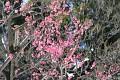 ... nebo snad raději růžové květy Sakur ...