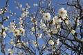 A tyto nádherné bílé květy Sakury jsou středem jejich zájmu ...