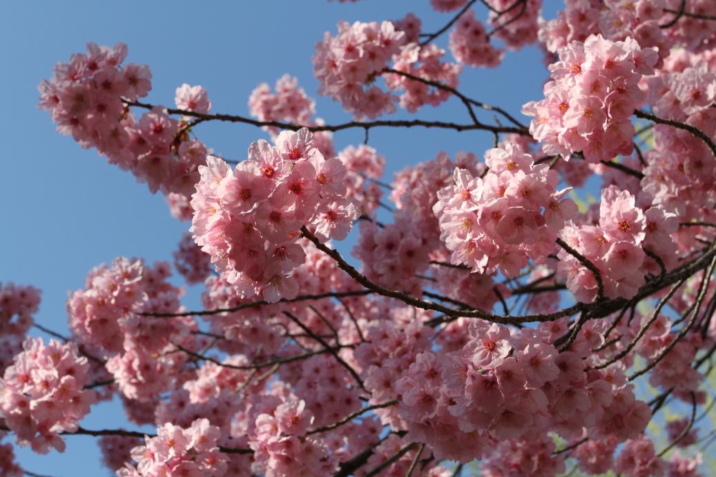 Tokyo Sakura Spring 2015