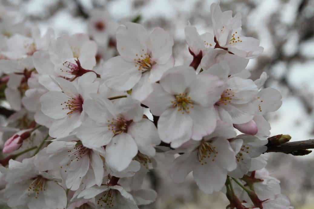 Sakura Nagoya ...2015