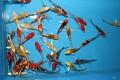 Pro velký úspěch je tu nová výběrová kolekce závojových KOI 12-15cm