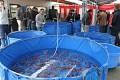 Jdu pozdě, aukce je již v plném proudu... Bazénky plné krásných KOI - připravené k dražbě, můžete vybírat ...