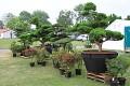 Fotku bez lidí si musíte chvíli vystát - poté můžete obdivovat náherné venkovní bonsaje ...