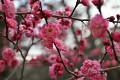 """Jaro je opravdu tu, pomalu se začínají objevovat první květy """"Sakur"""" - tedy dá to ještě práci, ale za měsíc již budou všichni obdivovat rozkvetlé sakurové háje ..."""
