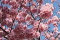 A není divu, květy sakur jsou úžasné ...