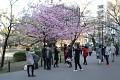 A pokud snad rozkvete první sakura, je ihned v obležení a centrem focení ...