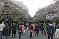 Kvetoucí sakury jsou obdivovány mnoha turisty a pro Japonce velký svátek ...