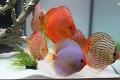 Ovšem opravdovými králi sladkovodních akvárií jsou bezesporu terčovci ...