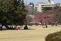 Japonci moc rádi relaxují v parku - usednou pod strom, celé rodiny, firmy a užívají života ...