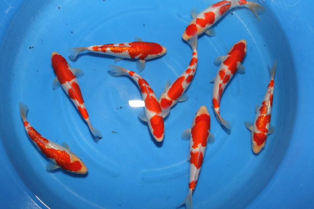 The best Tategoi Kohaku for KOI Show ...